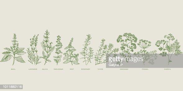 Conjunto de hierbas bosquejo de cocina francesa : arte vectorial
