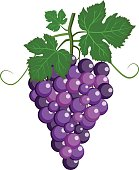 cluster of grape with purple leaves vector illustration