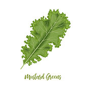 Fresh Curly Mustard Green Leaves, Brassica juncea. isolated. Food concept. Fresh juicy raw cabbage. Healthy diet, vegetarian, spring vegetables, seasonings vector illustration organic salads