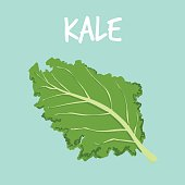 fresh kale on blue balckground vector illustration