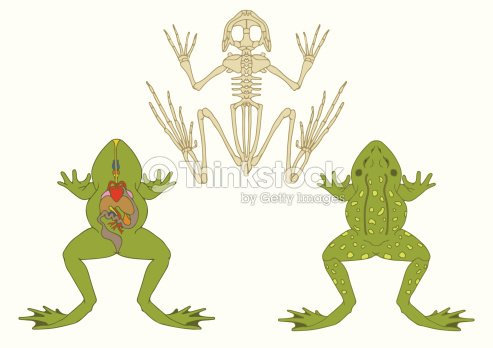 Rana Zoology Anatomía De Anfibio Arte vectorial | Thinkstock