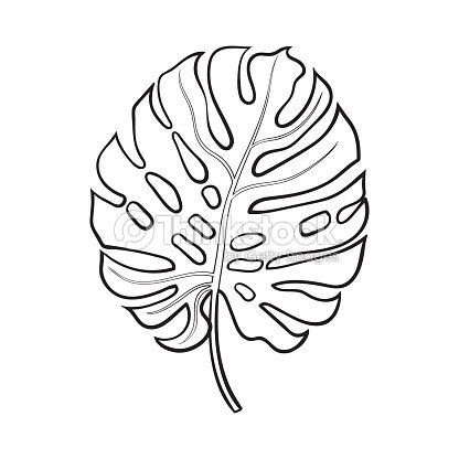 Full Leaf Of Monstera Palm Tree Sketch Vector Illustration ...