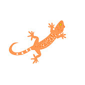 Tokay gecko with curved tail on white background , Many white and orange color dots spread on brown skin of Gekko gecko , Reptiles in the homes of the tropics