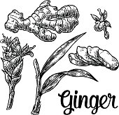 Ginger. Root, root cutting, leaves, flower buds, stems. Vintage retro vector illustration for herbs and spices set