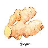 Hand Drawn Ginger, Watercolor Sketch, Vector Illustration For Food Design.