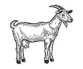 Goat farm animal livestock. Hand drawn sketch in a graphic style. Vintage vector engraving illustration for poster, web. Isolated on white background