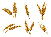 Set of dried wheat ears, bunch of ripe cereals, peeled whole grain realistic vector illustration isolated on white background. Gold wheat collection for bakery, agricultural, farming ad design element