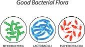 Good bacterial flora. Lactobacilli, bifidobacteria, Escherichia coli Infographics Vector illustration