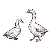 Goose and Duck farm animals sketch, isolated birds on the white background. Vintage style. Vector illustration.