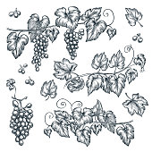 Grape vine sketch vector illustration. Hand drawn isolated design elements.