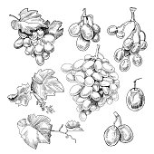 Grapes bunch sketch. Black berry growing in clusters on a grapevine, eaten as fruit, used in making wine, hand drawn decor. Vector illustration on white background