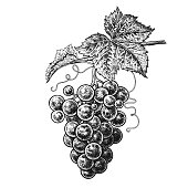 Grapes. Realistic vector illustration plant. Hand drawing berries. Fruit, leaf, branch isolated on white background. Decoration products for health and beauty. Vintage black and white engraving