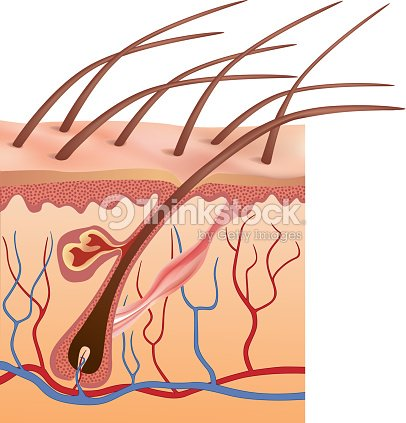 Graphic Anatomy Design Of Human Hair Follicles In Skin Vector Art ...