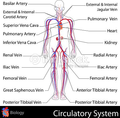 A Graphical Labeled Representation Of The Circulatory System Vector ...