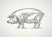 Pig in the  graphic style. Drawn by hand, can be used as design element.