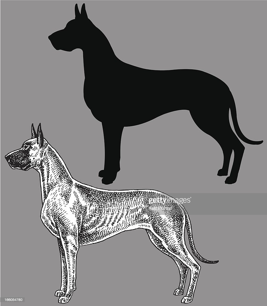 Great Dane - Dog, domestic pet : Vector Art