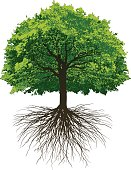 Vectored Oak Tree with roots made from photographing a tree in winter and a tree in summer.