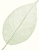 Isolated detailed green vector leaf on white background