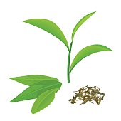 Green tea leaves and twig, fermented tea, isolated on white background. Side view. Close up. Vector illustration. For cooking, food design, cosmetics, medicine, health care, ointments perfumery tags