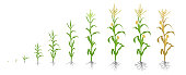 Growth stages of Maize plant. Corn phases. Vector illustration. Zea mays. Ripening period. The life cycle. Use fertilizers. On white background. Flat color drawing on white background. Maize is widely