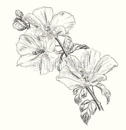 Dessin de fleurs dhibiscus la main clipart vectoriel - Dessin d hibiscus ...