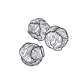Brussels sprouts. Hand drawing of vegetables. Vector art illustration. Isolated image of black ink on white background. Vintage engraving. Kitchen design for decoration recipes, menus, shops, markets