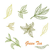 Hand drawn Green tea leaves set. Vector illustration