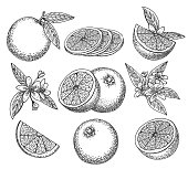 Hand drawn orange. Blossom citrus orange fruit on branc vintage ink sketch isolated on white background, vector illustration