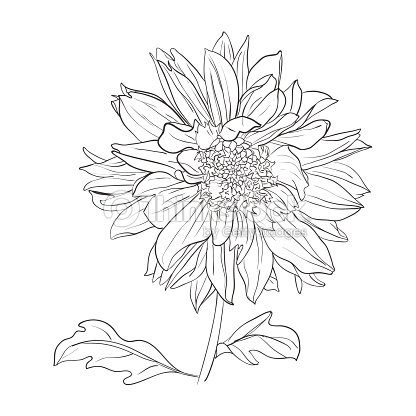 Hand Drawn Realistic Dahlia Flower Vector Art
