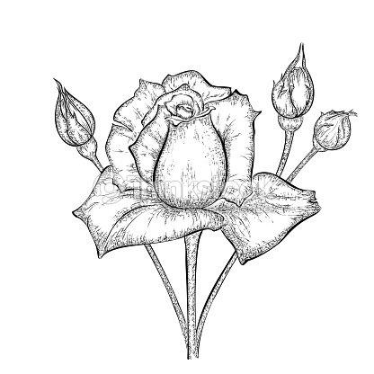 Disegno A Mano E Boccioli Di Rosa Arte Vettoriale Thinkstock