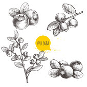 Hand drawn sketch style set of blueberries. Isolated on white background. Forest berry. Eco food vector illustration. EPS10 + JPEG preview