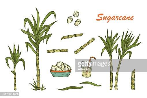 Conjunto De Caña De Azúcar De Dibujado A Mano Plantas De