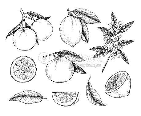 Mano Dibujado Vector Ilustración Colecciones De Limones Y Naranjas ...