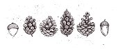 Hand drawn vector illustrations. Collection of pine cones and acorns. Forest vintage elements. Perfect for invitations, greeting cards, posters, prints