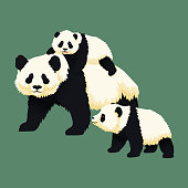 Happy smiling baby giant panda riding on the back of an adult panda with another panda cub walking near. Chinese bear family. Mother or father and children. Rare, vulnerable species.