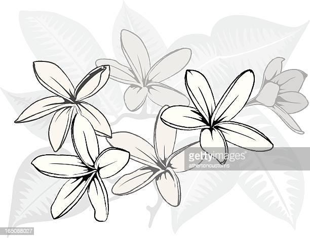 Hawaiian BW Plumeria