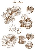 hazelnut set of vector sketches on an white background