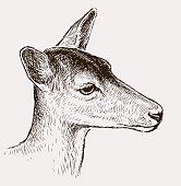 Sketch portrait of a roe deer.