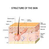Healthy Human Skin. hair follicle, cell structure and layers. Vector illustration for your design and medical use. human anatomy.