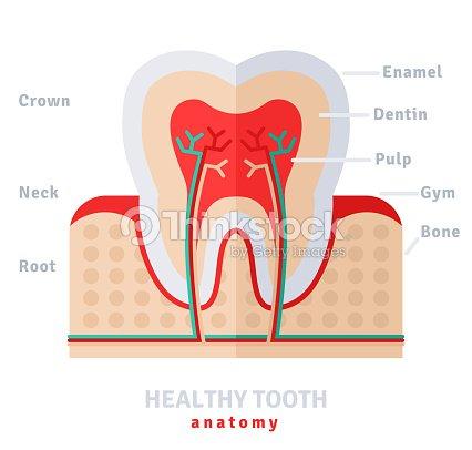 Gesunde Weiße Zahn Anatomie Flachbildfernseher Vektorgrafik   Thinkstock