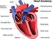 heart anatomy. Part of the human heart