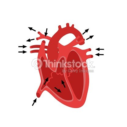 Heart structure anatomy anatomical diagram arte vetorial thinkstock heart structure anatomy anatomical diagram arte vetorial ccuart Images