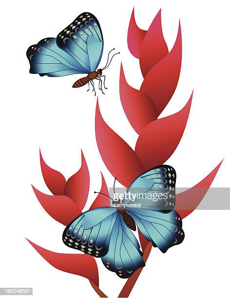 heliconia und morpho Schmetterlinge