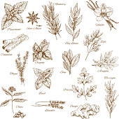 Herbs and spices sketches. Rosemary, basil and mint, cinnamon, thyme, clove and parsley, bay and dill, vanilla and star anise, ginger, oregano and sage, tarragon, arugula and lavender