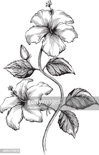 Hibiscus vector art getty images for Hibiscus flower tattoo sketches