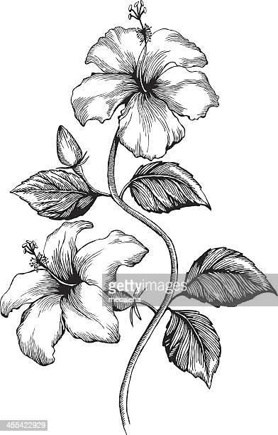 Illustrations et dessins anim s de hibiscus getty images - Dessin d hibiscus ...