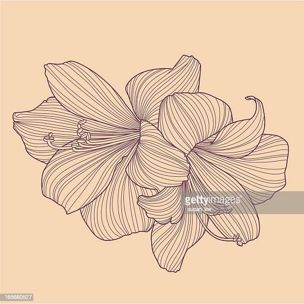 Cartoon Flower Line Drawing : Amaryllis stock illustrations and cartoons getty images