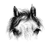 Horse head, ink drawing sketch,  isolated on white. A closeup portrait of the face of a horse.