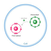 How Antioxidants Work On Free Radicals Damage. Vector illustration