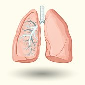 Human lungs, cartoon style illustration  isolated on white background, vector